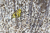Yellowhammer (Emberiza citrinella) perched amongst flower, England