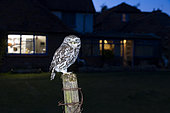 Little owl (Athena noctua) perched on a post at sunset, England