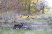 Roe deer (Capreolus capreolus) standing amongst long grass, England