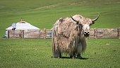 Mongolian yak (Bos grunniens) near a yurt of nomads, Arkhangai province, Mongolia, Asia