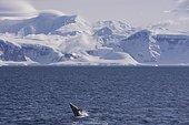 Antarctic minke whale or southern minke whale (Balaenoptera bonaerensis), breaching, Gerlache Strait, Antarctic Peninsula, Antarctica
