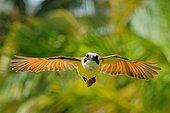 Tyran quiquivi (Pitangus sulphuratus) en vol, comportement agressif de défense, district de Corozal, Belize