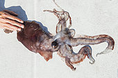 Deep squid (Chiroteuthis veranii) - dead specimen. It is part of the usual diet of the pilot whale (Globicephala macrorhynchus) in the south of Tenerife, Canary Islands.