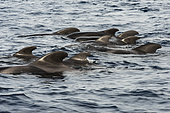 Pilot whale (Globicephala macrorhynchus). Group of subadult individuals, also called a nursery. Tenerife, Canary Islands.