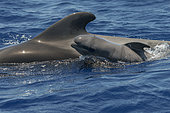 Pilot whale (Globicephala macrorhynchus). Young born in a few minutes: it is supported by a deformed head, the hairs on the snout, its very marked fetal lines and its dorsal fin still bent over its body. Tenerife, Canary Islands.