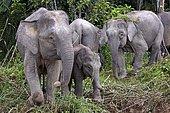 Borneo pygmy elephants (Elephas maximus borneensis), Rainforest, Sabah, Borneo, Malaysia, Asia