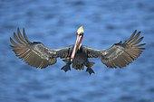 Pélican brun (Pelecanus occidentalis), en vol au dessus de l'eau, La Jolla, Californie, USA