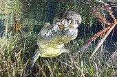 Crocodile américain (Crocodylus acutus) sous la surface, Jardines de la Reina, Cuba