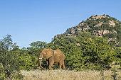 African bush elephant (Loxodonta africana) walking in boulder scenery in Kruger National park, South Africa