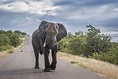 Éléphant d'Afrique (Loxodonta africana) marchant au milieu d'une route, parc national Kruger, Afrique du Sud.