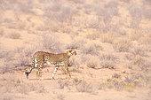 Cheetah (Acinonyx jubatus) walking side view in dry land in Kgalagadi transfrontier park, South Africa