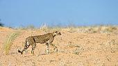 Cheetah (Acinonyx jubatus) walking side view in sand dune in Kgalagadi transfrontier park, South Africa