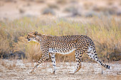 Cheetah (Acinonyx jubatus walking) side view in dry land in Kgalagadi transfrontier park, South Africa