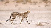 Cheetah (Acinonyx jubatus) walking in arid land in Kgalagadi transfrontier park, South Africa