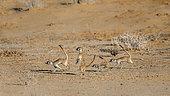 Four Meerkat (Suricata suricatta) running away in Kgalagari transfrontier park, South Africa
