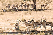 Small group of Springbok (Antidorcas marsupialis) standing in tree shadow in Kgalagari transfrontier park, South Africa