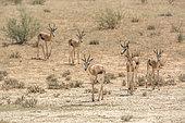 Springbok (Antidorcas marsupialis) groupe marchant sur la terre aride, Parc national Kgalagadi, Afrique du Sud