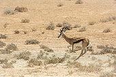 Springbok (Antidorcas marsupialis) courant, Parc national Kgalagadi, Afrique du Sud
