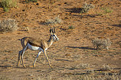 Springbok (Antidorcas marsupialis) marchant, Parc national Kgalagadi, Afrique du Sud