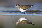 Common Sandpiper (Actitis hypoleucos), side view of an adult standing in the water, Campania, Italy