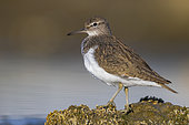 Common Sandpiper (Actitis hypoleucos), side view of an adult standing on a rock, Campania, Italy