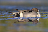 Northern Pintail (Anas acuta), side view of an adult male resting in the water, Campania, Italy