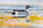 Northern Pintail (Anas acuta), side view of an adult male in the water, Campania, Italy