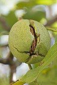 Walnut (Juglans regia) hanging on the tree