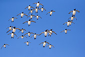 Common murre or common guillemot (Uria aalge), in flight, protected island with large colonies of seabirds, Island of Hornøya, Vardø or Vardo, Varanger Fjord, Norway, Scandinavia,