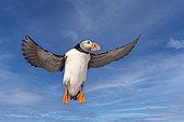 Atlantic Puffin (Fratercula arctica), in flight, Island of Hornøya, protected island with large colonies of seabirds, Vardø or Vardo, Varanger Fjord, Norway, Scandinavia