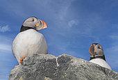Atlantic Puffin (Fratercula arctica), on rock, Island of Hornøya, protected island with large colonies of seabirds, Vardø or Vardo, Varanger Fjord, Norway, Scandinavia