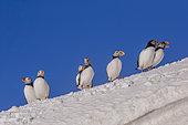 Atlantic Puffin (Fratercula arctica), in the snow, Island of Hornøya, protected island with large colonies of seabirds, Vardø or Vardo, Varanger Fjord, Norway, Scandinavia