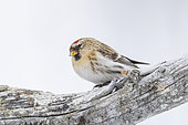 Common redpoll (Acanthis flammea), in the snow, Vadso, Varanger Fjord, Norway, Scandinavia