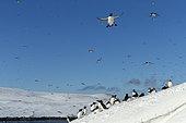 Razorbill or Torda penguin (Alca torda), Common murre or common guillemot (Uria aalge) and Atlantic Puffin (Fratercula arctica, in snow, protected island with large colonies of seabirds, Island of Hornøya, Vardø or Vardo, Varanger Fjord, Norway, Scandinavia,