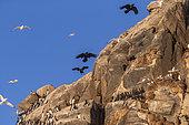 Common raven (Corvus corax) ,in flight, Predator of seabird colonies in the cliffs, Island of Hornøya, protected island with large colonies of seabirds, Vardø or Vardo, Varanger Fjord, Norway, Scandinavia