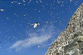 Island of Hornøya, protected island with large colonies of seabirds, birds in flight, Vardø or Vardo, Varanger Fjord, Norway, Scandinavia