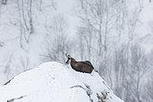 Chamois des Alpes (Rupicapra rupicapra) couché dans la neige dans les Vosges, France