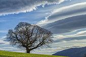 Châtaigner centenaire et nuages lenticulaires au crépuscule, Haute Savoie, France