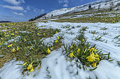 Daffodils (Narcissus pseudonarcissus) after a snow squall in spring. Crests of the southern Jura, in the Grand Colombier massif, France