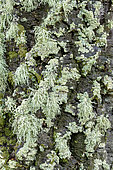 Association of foliaceous and fructicolous corticolous lichens on the bark of a tree on a rainy day, Green foliaceous: Crescent frost lichen (Physconia perisidiosa) and Pale yellow fructicolous: Strap lichen (Ramalina farinacea), Esterel, Var, France