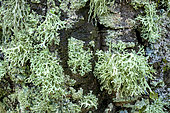Association of foliaceous and fructicolous corticolous lichens on the bark of a tree on a rainy day, Grey foliaceous: Parmelia lichen (Parmelia spp) and Pale yellow fructicolous: Strap lichen (Ramalina farinacea), Esterel, Var, France