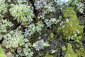 Association of foliaceous and fructicolous corticolous lichens on the bark of a tree on a rainy day, Green foliaceous: Crescent frost lichen (Physconia perisidiosa), Grey foliaceous: Parmelia lichen (Parmelia spp) and Pale yellow fructicolous: Strap lichen (Ramalina farinacea), Esterel, Var, France