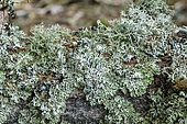 Fruiting lichen, tree moss (Pseudevernia furfuracea), very common in mountain forests. Corticolous species, omnipresent on the bark of mountain forests, sensitive to pollution and used as a bio-indicator of radioelements. Massif des Bauges. Savoie. France