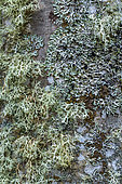 Association of fructicose and foliaceous lichens on the bark of a tree Yellow fructicose Strap lichen (Ramalina farinacea), left, and grey foliaceous Hammered shield lichen (Parmelia (Parmelia sulcata) associated on the trunk of a tree, Savoie, France