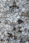 Crustaceous, gelatinous and foliaceous lichens on a mountain trunk. This living mosaic presents the 3 typical forms of lichen thallus, fungi associated with algae. Massif des Bauges, Savoie, France
