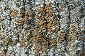 Leafy lichen and its apothecia (Parmelina carporrhizans) on a bark. The apothecia are the reproductive organs of the mushroom. Savoie, France