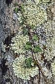 Association of foliose corticolous lichens on the bark of a tree, Common greenshield lichen (Flavoparmelia caperata) and Hammered shield lichen (Parmelia sulcata) on a tree, the mosses are in fact liverworts, Savoie, France