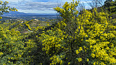 Mimosas in bloom in the Esterel massif, in the background, the town of Grasse, Alpes Maritimes, France