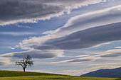 Dead tree and lenticular clouds at dusk. Haute Savoie, France