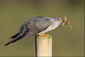 Cuckoo (Cuculus canorus) perched on a post with grass in his bill